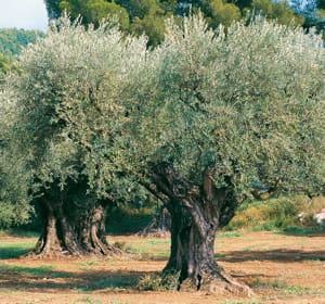 le parrain a le droit à l'intégralité de l'huile d'olive produite par son arbre.