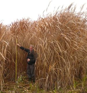 le fondateur d'aelred dans un champ de miscanthus, une plante sur laquelle