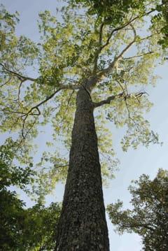 swietenia mahogany