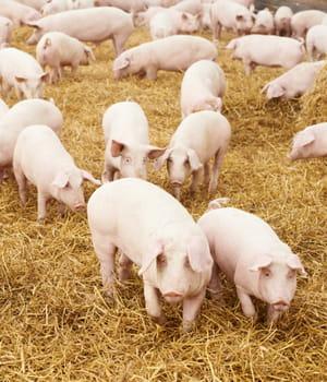 le maïs phytase permet de limiter les rejets de phosphore des porcs dans