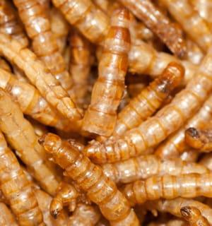 les insectes et les larves, riches en protéines, constituent un aliment de choix
