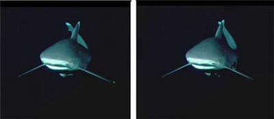 le même requin en approche... sur la gauche, avec le t260 hd, sur la droite le