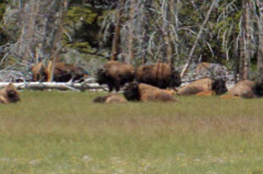 Au plus près des bisons