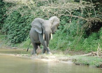 dans le parc de nouabalé-ndoki, on peut admirer des gorilles, éléphants,