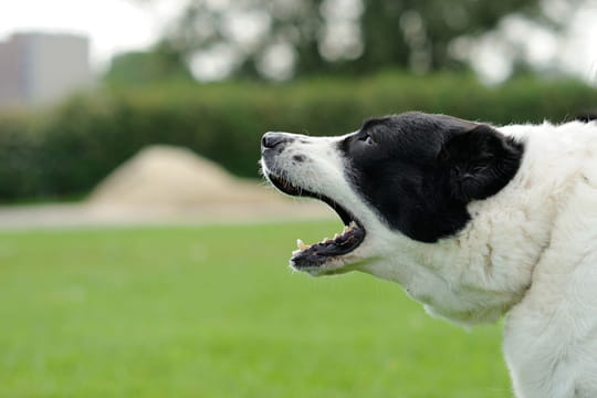 Nuisances sonores et aboiement d'un chien: que dit la loi