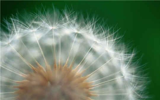 Dandelion: l'autre nom du pissenlit