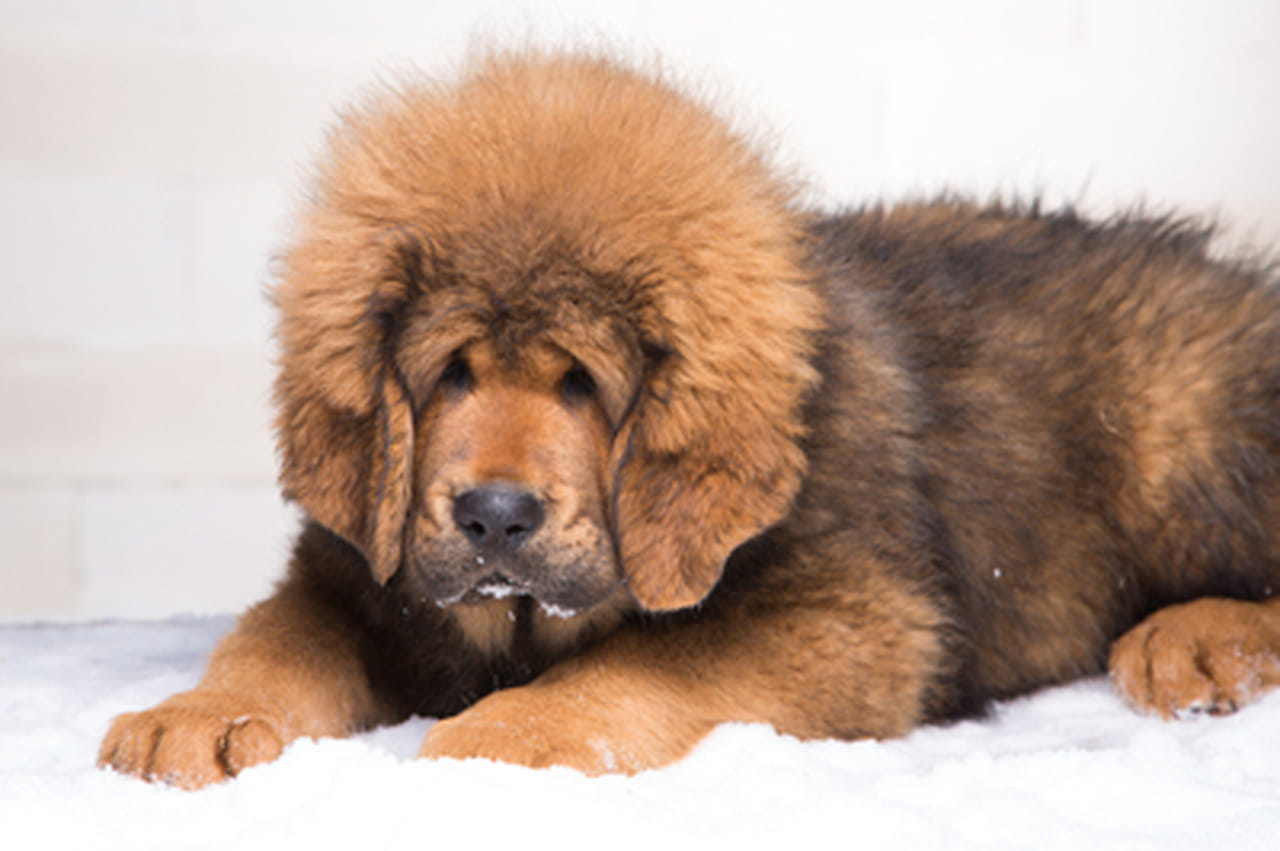 Big dog that looks like a teddy bear
