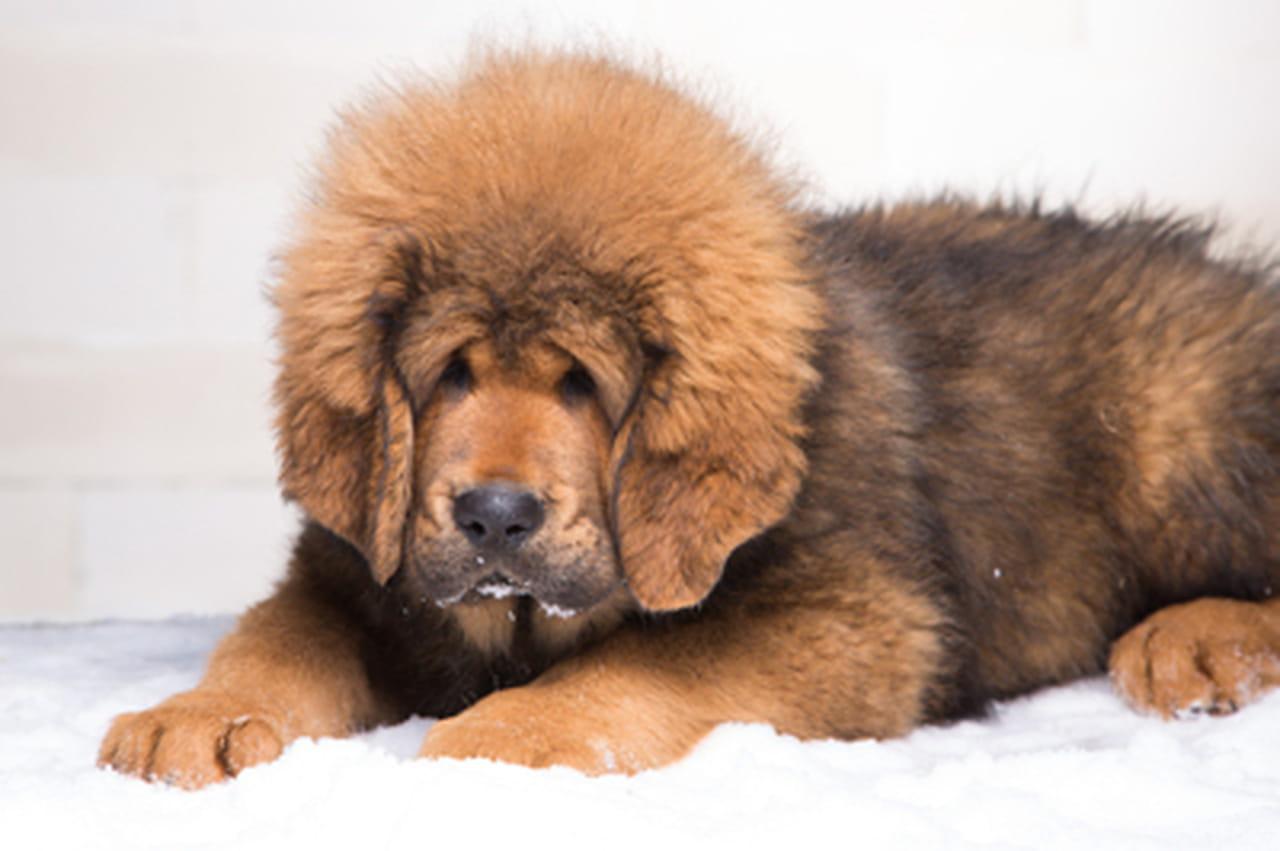 Hervorragend chien le plus cher du monde VA61