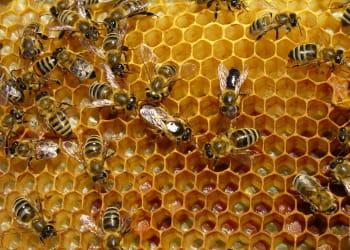 l'abeille est une espèce en voie de disparition.