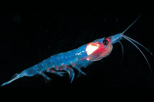 Le krill, la petite crevette qui suscite de gros appétits