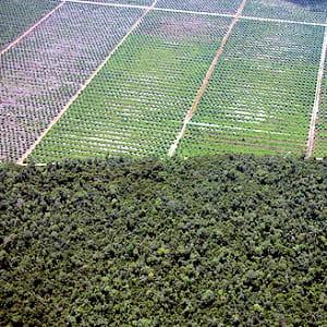 les plantations de palmiers à huile grignotent la forêt tropicale en indonésie.