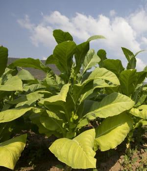 la culture du tabac comme biocarburant évite la concurrence de l'usage