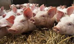 le bgi chinois produit environ 500 porcs clonés paran, avec un taux de réussite