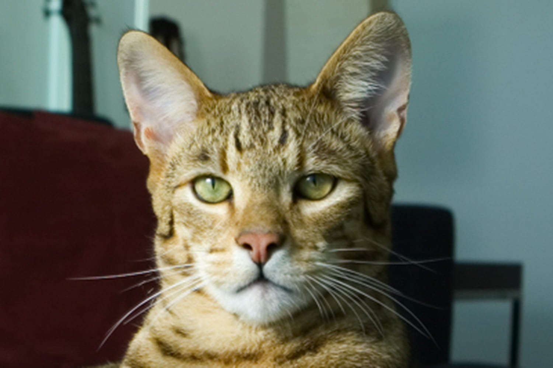 Le chat le plus cher du monde