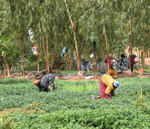 des cultures maraichères en afrique.