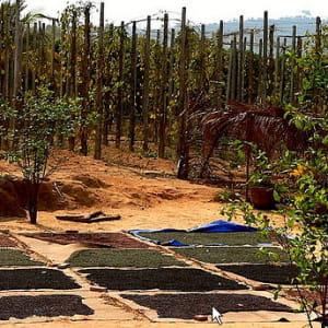 une plantation de poivre à phú quá''c au vietnam