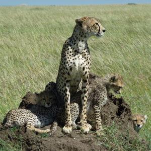 léopards dans le parc masaï mara, au kenya.