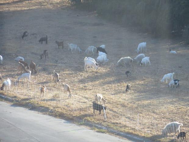 Les chèvres, une alternative écologique