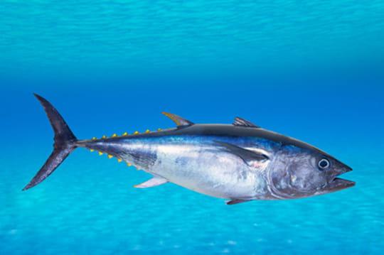 Le poisson le plus cher dumonde