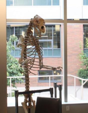 dans le hall d'entrée du siège d'amazon, le squelette de l'ours des cavernes est