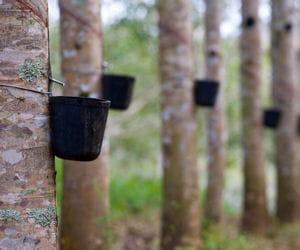 des gouttes de latex tombent dans un seau dans la plantation michelin de bahia.