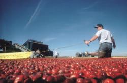 plus de 800 petits producteurs cultivent la cranberry pour ocean spray, le