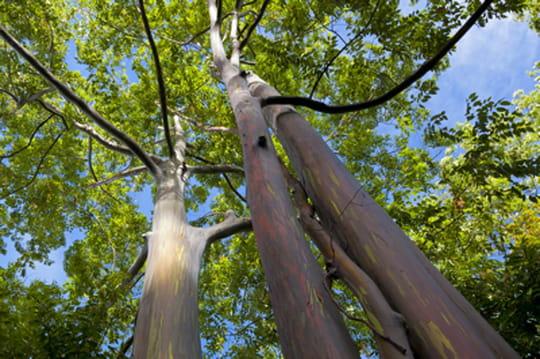 Et maintenant, des arbres OGM qui poussent 20%plusvite