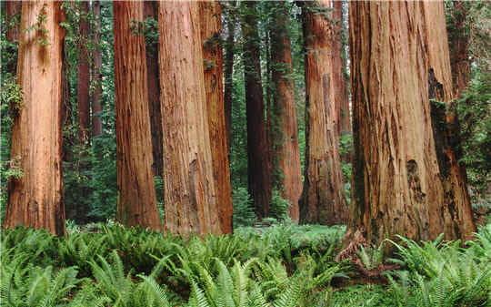 des sequoias